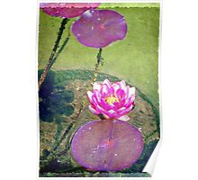 Pretty water lily © Poster