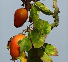 Crab Apples by Fara