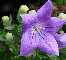 Balloon Flower by Bob Hardy