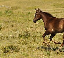 Zoom!  Racing filly, Montana photo, Donna Ridgway by Donna Ridgway