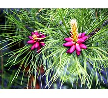 New Life (Ponderosa Pine) Photographic Print