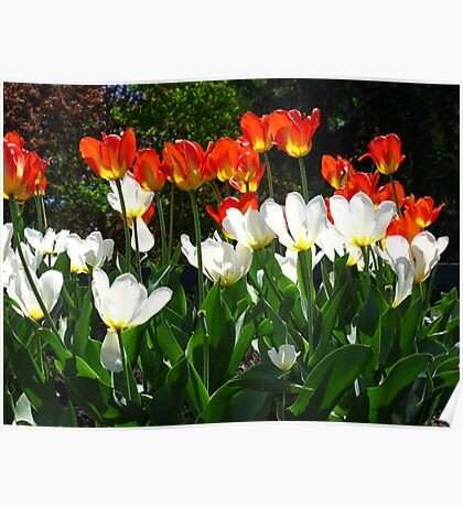 The Love of Tulips Poster