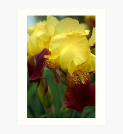 Pretty Iris Art Print