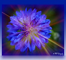 Blue Bachelor's button by Mechelep