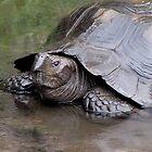 Rainy Day Tortoise by Veronica Schultz