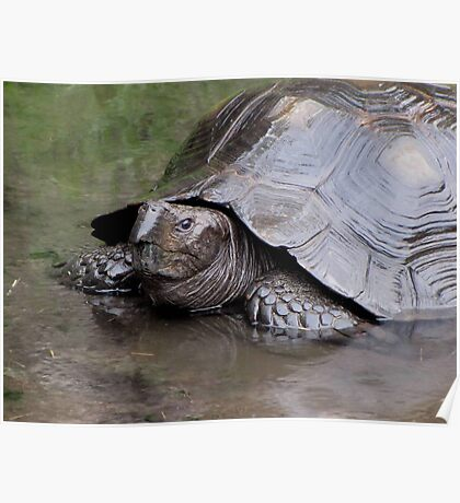 Rainy Day Tortoise Poster