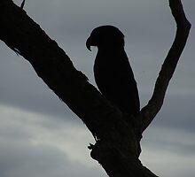 Kaka Shadow in Tree by Sonnenschein