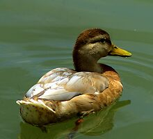 Duck swimming in the pond by Mechelep