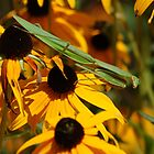Praying Mentis resting on Black Eyed Susan&#x27;s by Mechelep