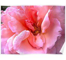 Ruffles of Rose Poster