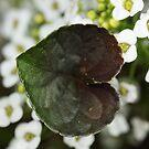 Wood violet leaf by Cawi