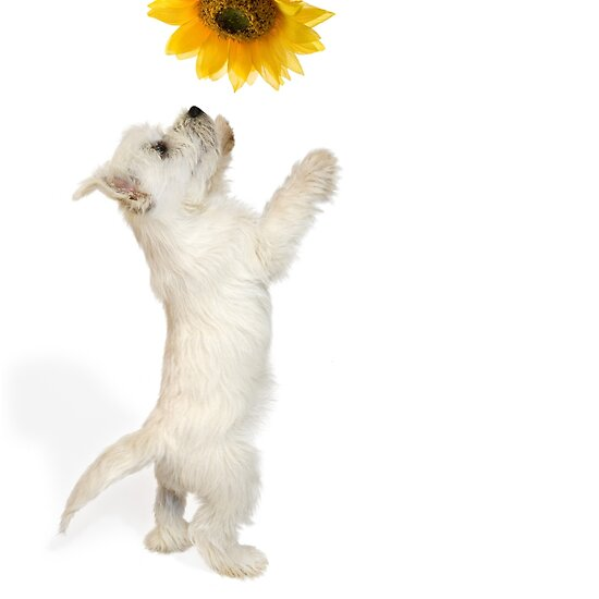 Westie Pup and Sunflower by Natalie Kinnear