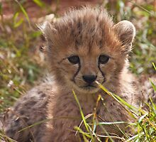 Cheetah Cub by Tony Walton