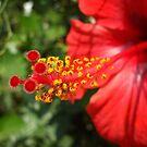 red hibiscus - closer look by Babz Runcie