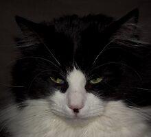 Black & White Rag Doll Cat by Jason Scott