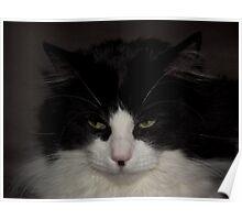 Black & White Rag Doll Cat Poster