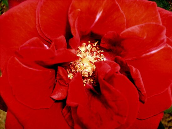 Rose by Ana Belaj