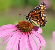 Cone-flower's visitor - Monarch by Poete100