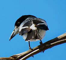 Grey Butcher Bird ~ Western Australia by Toni Kane