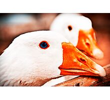 Geese. Photographic Print