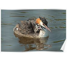 Late Grebe Chick Poster