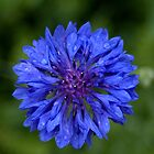 Blue Bachelor&#x27;s Button Flower by Mechelep