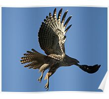 Red Tail In Flight Poster