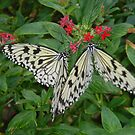 Butterflies- St. Louis Zoo, St. Louis, Missouri by Melissa Delaney