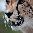 Cheetah, Portrait by Matthew Walters