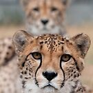 Pair of Cheetahs by Matthew Walters