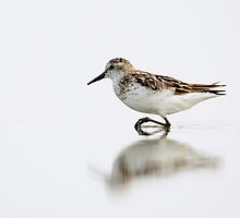 Sanderling by Rob Lavoie