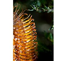 Banksia Bathed in Sunlight Photographic Print