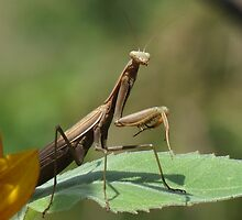 Mantis In The Garden by Tracy Faught