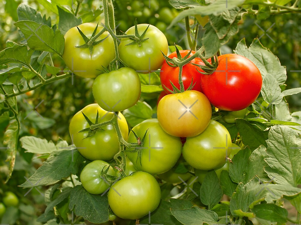 Green and red tomatoes by qiiip