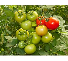 Green and red tomatoes Photographic Print