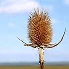 Inflorescence dry teasel by qiiip