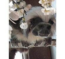 Tamarin Monkey Photographic Print