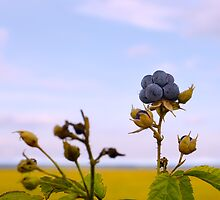 Bluish blackberries berries by qiiip