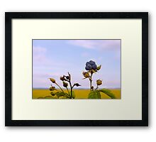 Bluish blackberries berries Framed Print