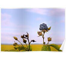 Bluish blackberries berries Poster