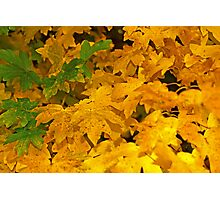 Yellow fall foliage Photographic Print