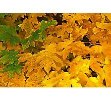 Yellow fall foliage Photographic Print