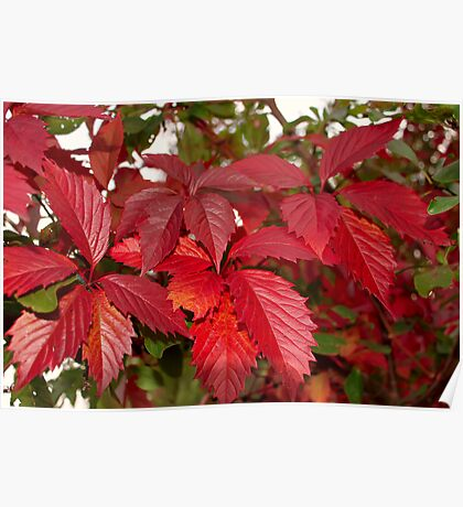 Red leaves of wild grapes Poster