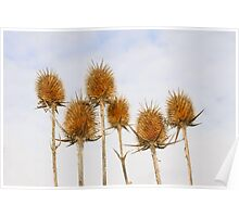 Dry inflorescences of teasel Poster