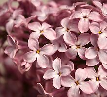 Inflorescence of lilac by qiiip
