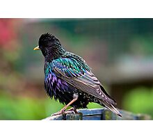 Darling Starling Photographic Print