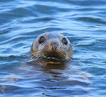 Harbour Seal Bay of Fundy by Mary-Lynne Weightman