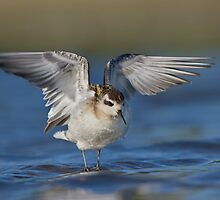 Red-necked Phalarope wing flap. by Daniel Cadieux
