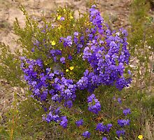 Tree Hovea by georgieboy98