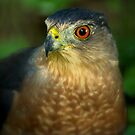 Coopers Hawk by Jeff Weymier